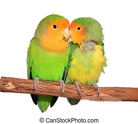 Lovebirds - Two Love Birds isolated on a branch