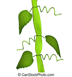 Cissus is a genus of approximately 350 species of woody...