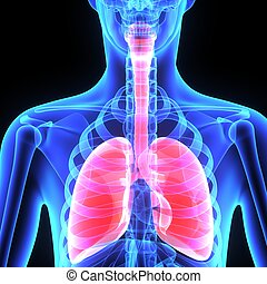 Lungs - The human lungs are the organs of respiration Humans...