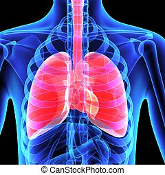 Lungs - The human lungs are the organs of respiration....