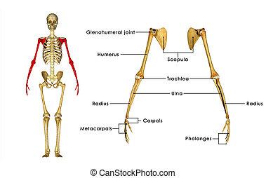 Esqueleto, Manos