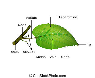 Leaf - A leaf is an organ of a vascular plant and is the...