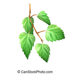 Birch leaves - Birch is a broadleaved deciduous hardwood...