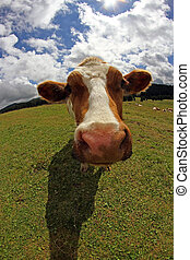 cow photographed with fish eye lens and blue sky with many...