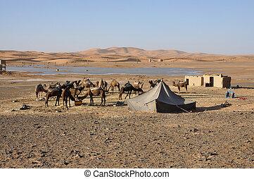 camelos, alimentação, oásis, sahara,...