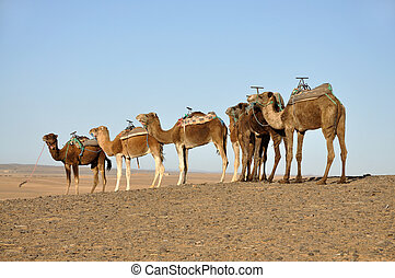 Camels in the Sahara desert, Morocco Africa