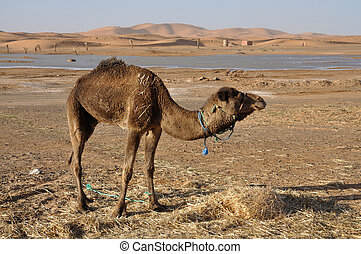 Camel in the Sahara, Morocco