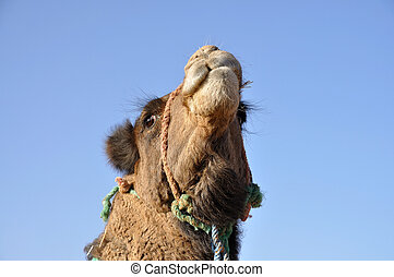 Camel portrait in Sahara, Morocco