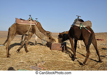 Camels feed in the oasis, Sahara desert Morocco Africa