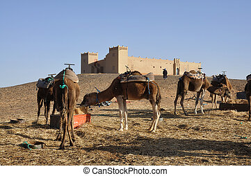Camels feed in the camp, Sahara desert Morocco Africa