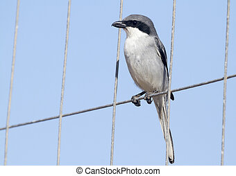 Southern Grey Shrike - Lanius meridionalis perched on wire