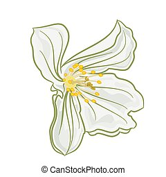 White Jasmine - Jasmine flower white Isolated on a white...