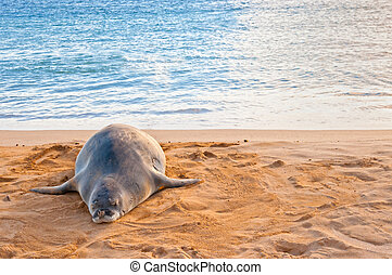 Hawaiian Monk Seal rests on Poipu beach in Kauai - An...