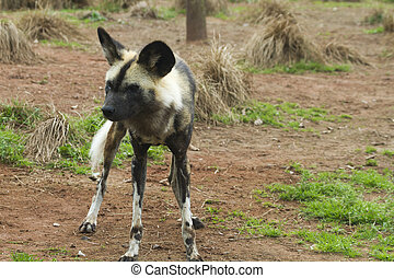 African painted wild dog Lycaon pictus closeup
