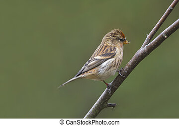 Redpoll Carduelis flammea perched on a branch