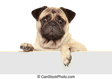 dog with blank board - pug dog with blank banner isolated on...