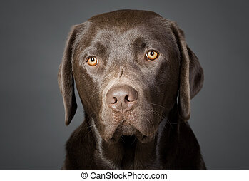 Portrait of a Cute Chocolate Labrador Puppy