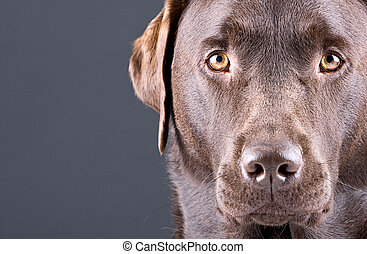 Close Up Shot of a Stunning Chocolate Labrador against Grey...