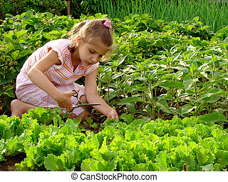 cropping lettuce - young girl cropping green lettuce from...