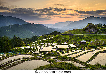 Rice Paddies in Japan - Rice Paddies in Kumano, Japan.