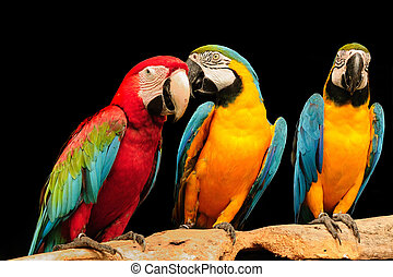 Macaws - beautiful macaws eagerly looking at the camera