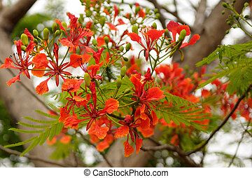 Gulmohar - Beautiful red tropical flowers on a bright summer...