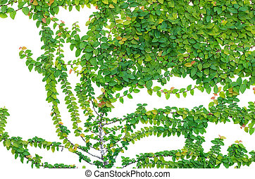 Abstract of Green ivy isolated on white background