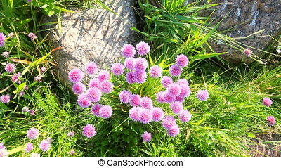 sea bright large blossoming clover - clover on sea coast of...