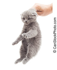 hand holding a gray kitten by the scruff