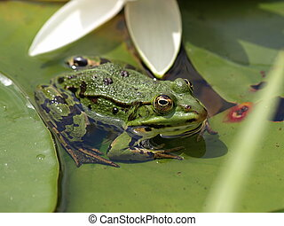 Frog on a water lily leaf