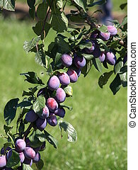 ripe plums - ripe prunes at a branch before harvest
