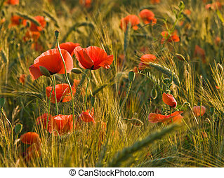 Poppies on the barley field