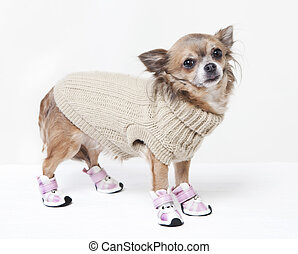 chihuahua with winter clothes looking at the camera. white...