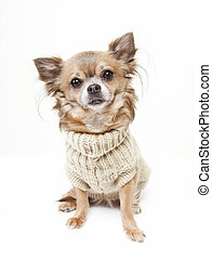 chihuahua with wool sweater looking at the camera. white...