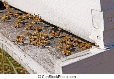 Beehive - Honey Bees entering and exiting a manmade beehive.