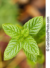 Spearmint Leaves - Close-up of spearmint leaves with shallow...