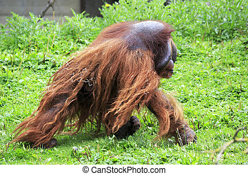 Male Bornean orangutan Oldest zoos in Europe Republic of...