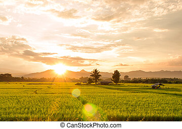 Sunset on green paddy field