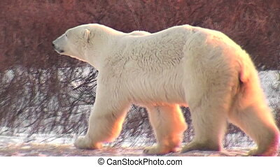 Polar bear and two year old baby - Two year old polar bear...