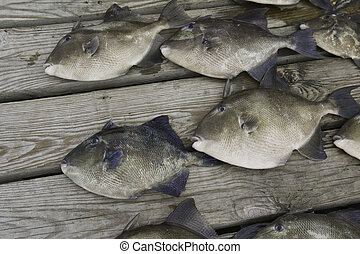 Gray trigger fish (Balistes capriscus) caught by sport...