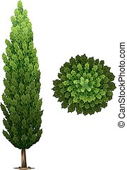 A Swedish columnar plant on a white background