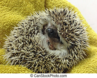 Grumpy baby hedgehog in a ball symbolizing grumpiness, moods...