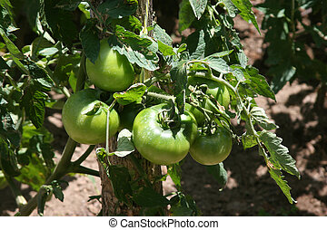 Agriculture-green tomatoes - Cultivation of green tomatoes