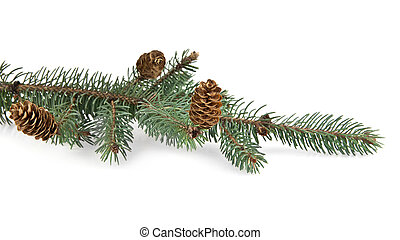 branch of fir-tree on a white background