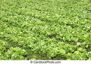 Agriculture-lettuce oblique - Cultivation of letucce