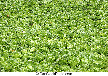 Agriculture-lettuce - Cultivation of letucce