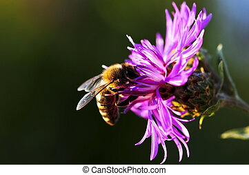 Honey bee on Knapweed - Close up of honey bee on knapweed...