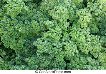 Agriculture-parsley - Cultivation of parsley