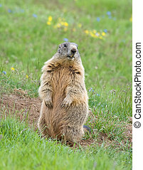 Sentinel marmot - marmot standing as sentinel on a green...