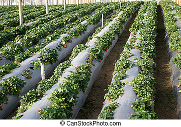 Agriculture-strawberries - Cultivation of strawberries